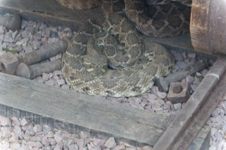 Unknown Rattle Snake