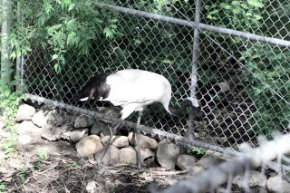 Redcrowned Crane