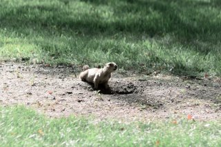 Blacktailed Prairie Dogs
